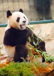 New Panda Pair in France
