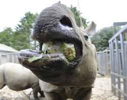 Behan Rhino